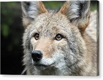 Coyote - 0031 Canvas Print by S and S Photo