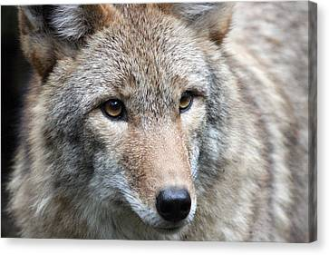 Coyote - 0034 Canvas Print by S and S Photo