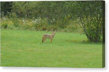 Coyote In The Yard  Canvas Print by Jeffrey Benedict