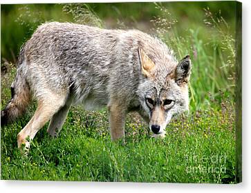 Canvas Print featuring the photograph Coyote On The Prowl by Kathy  White