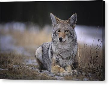 Coyote Resting In Winter Grass, Snowing Canvas Print by Leanna Rathkelly