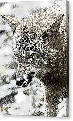 Coyote Snarling Canvas Print by Dan Friend