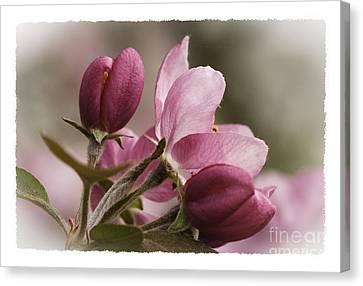 Crab Apple Blossoms II Canvas Print