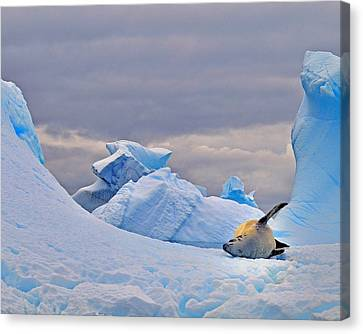 Crabeater On Ice Canvas Print by Tony Beck