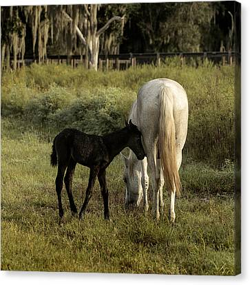 Cracker Foal And Mare Canvas Print by Lynn Palmer