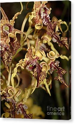 Canvas Print featuring the photograph Crazy Curly Orchid by Eva Kaufman