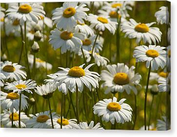 Crazy Daisy Days Canvas Print
