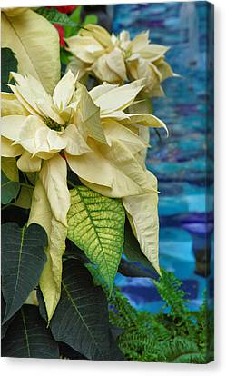 Creamy Poinsetta  Canvas Print by Steven Ainsworth
