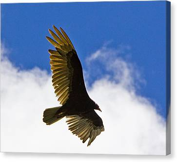 Crested Caracara Canvas Print by Roger Wedegis