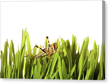 Cricket In Wheat Grass Canvas Print by Pascal Preti