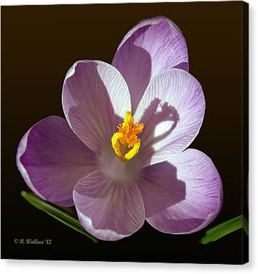 Crocus In Full Bloom Canvas Print by Brian Wallace