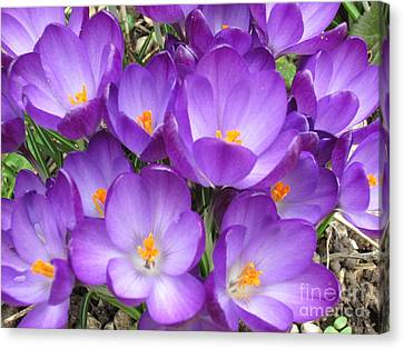 Crocus Canvas Print by Laurianna Taylor