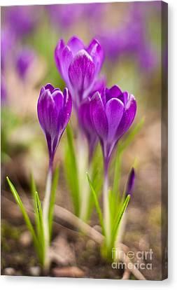 Crocus Flowers Canvas Print - Crocus Trio by Mike Reid