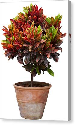 Croton Tree In Flowerpot Canvas Print by Atiketta Sangasaeng