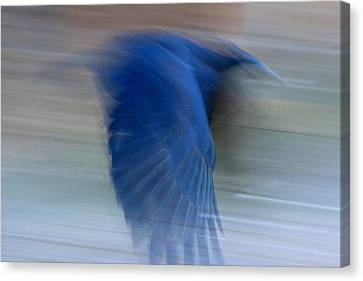 Canvas Print featuring the photograph Crow Motion by Scott Holmes