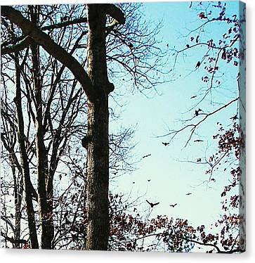 Canvas Print featuring the photograph Crows In For Landing by Pamela Hyde Wilson