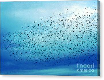 Crows On The Move Canvas Print