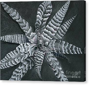 Cryptanthus Absolute Zero Canvas Print by Penrith Goff