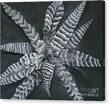 Cryptanthus Absolute Zero Canvas Print
