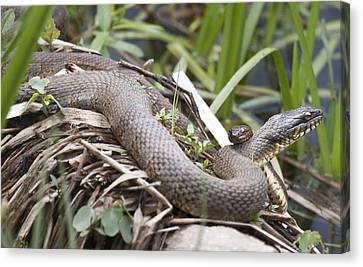 Canvas Print featuring the photograph Cuddling Snakes by Jeannette Hunt