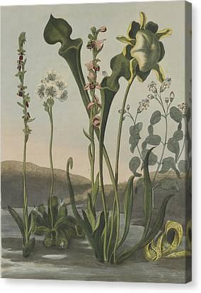 Curious American Bog Plants Canvas Print by Robert John Thornton