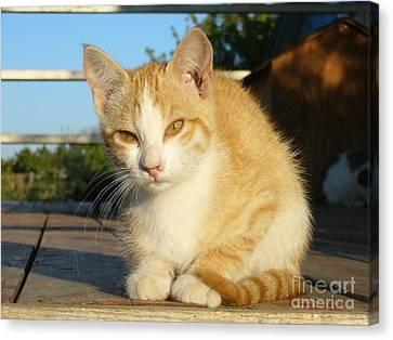 Canvas Print featuring the photograph Curious Kitten by Jim Sauchyn