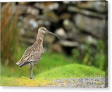 Curlew  Canvas Print by Clare Scott