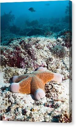 Cushion Star Starfish Canvas Print