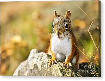 Cute Red Squirrel Closeup Canvas Print by Elena Elisseeva