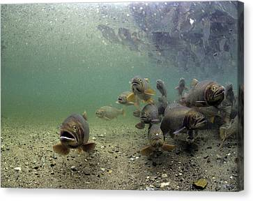 Cutthroat Trout School In Lake Canvas Print by Michael S. Quinton