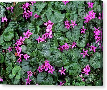 Cyclamen Flowers (cyclamen Coum) Canvas Print by Bob Gibbons