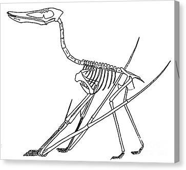 Cycnorhamphus Suevicus Canvas Print by Science Source