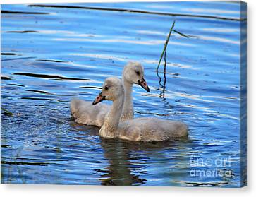 Cygnet Siblings Canvas Print by Whispering Feather Gallery