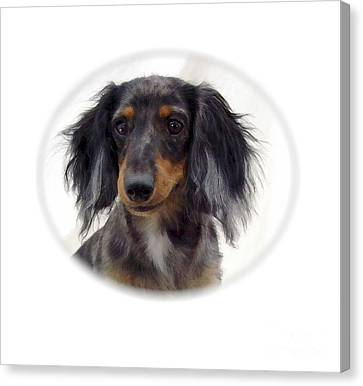 Dachshund 07 Canvas Print by Larry Matthews