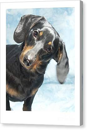 Dachshund 441 Canvas Print by Larry Matthews