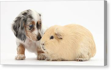 House Pet Canvas Print - Dachshund Pup Yellow Guinea Pig by Mark Taylor