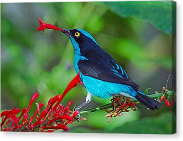 Dacnis Lineata Canvas Print by Luis Esteves
