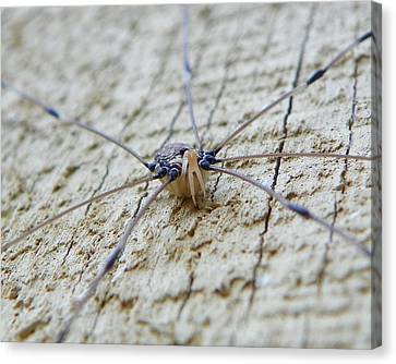 Canvas Print featuring the photograph Daddy's Long Legs by Chad and Stacey Hall