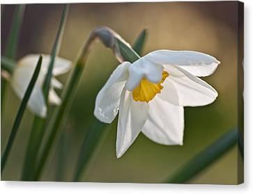 Daffodil Canvas Print by Ron Smith