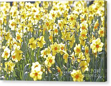 Canvas Print featuring the photograph Daffodils  by Gary Bridger