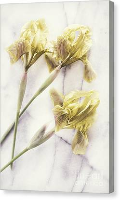 Daffodils Canvas Print by HD Connelly