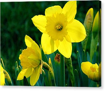 Canvas Print featuring the photograph Daffodils by Sherman Perry