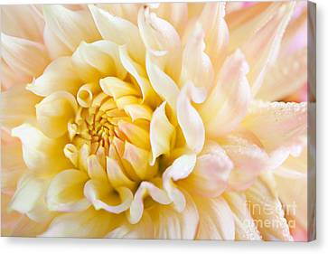Dahlia Flower 08 Canvas Print by Nailia Schwarz