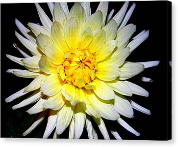 Canvas Print featuring the photograph Dahlia In White And Yellow by Laurel Talabere