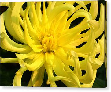 Canvas Print featuring the photograph Dahlia In Yellow by Laurel Talabere