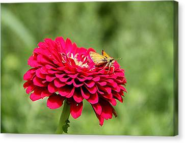 Canvas Print featuring the photograph Dahlia's Moth by Elizabeth Winter