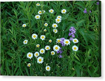 Daisies Canvas Print by Aimee L Maher Photography and Art Visit ALMGallerydotcom