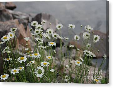 Canvas Print featuring the photograph Daisies And How They Grow by Joan McArthur