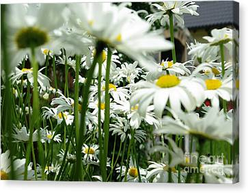 Canvas Print featuring the photograph Daisies In My Garden by AmaS Art