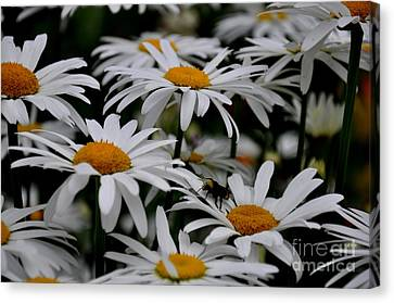 Daisies Canvas Print by Tanya  Searcy